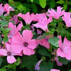 Lavatera trimestris 'Pink Beauty'